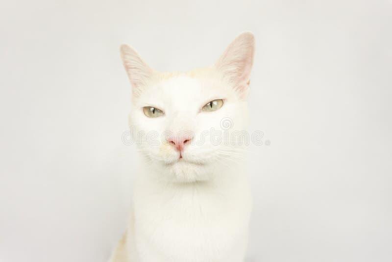 Vit katt med en vit bakgrund royaltyfria foton