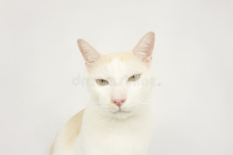 Vit katt med en vit bakgrund fotografering för bildbyråer