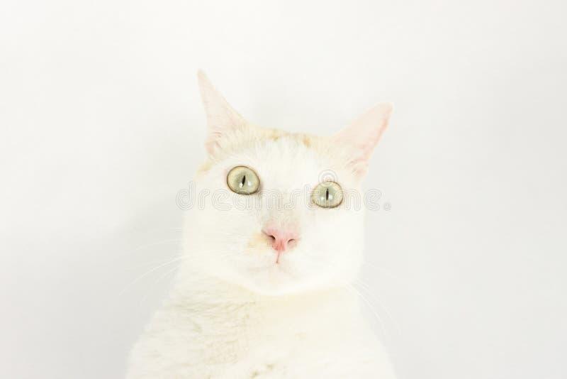 Vit katt med en vit bakgrund arkivfoton
