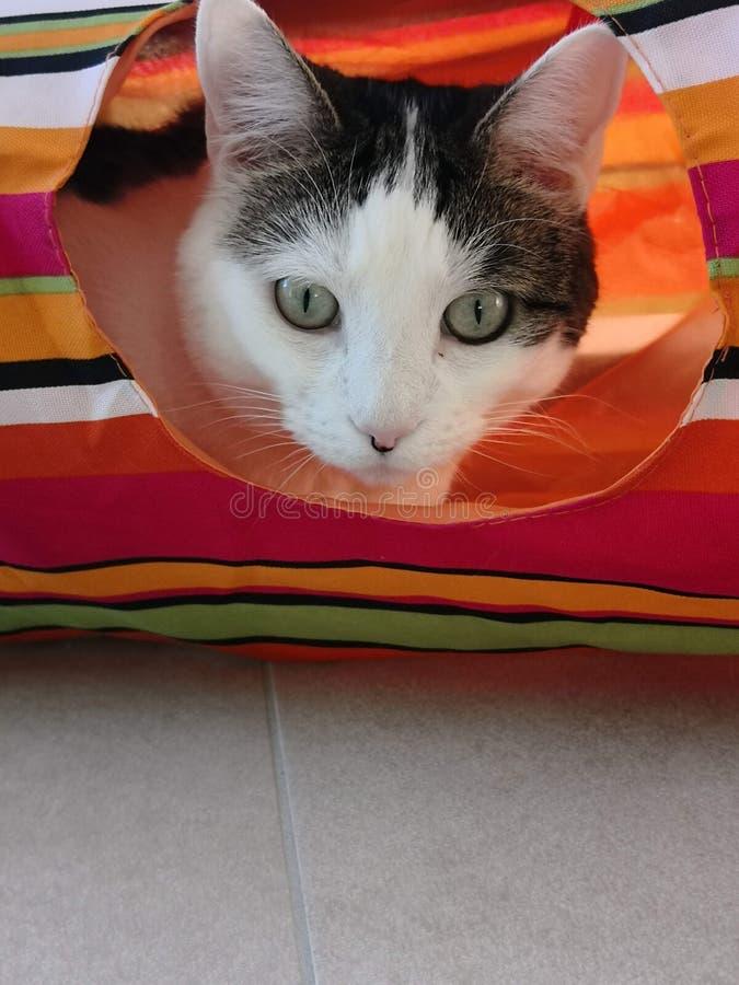 Vit katt med tittar för gröna ögon ut ur hennes färgrika hus royaltyfria bilder
