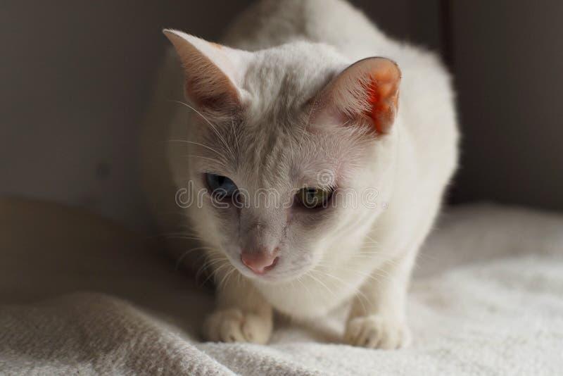Vit katt på vit sängferie tillsammans arkivfoton