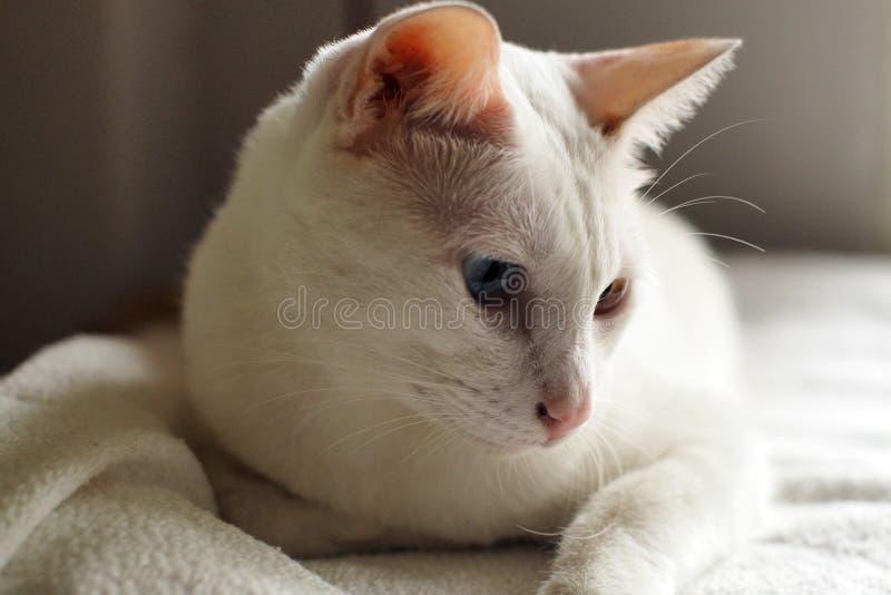 Vit katt på vit sängferie tillsammans royaltyfria bilder