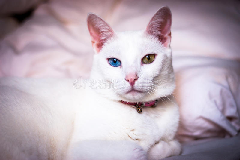 Vit katt som försöker att sova, olik kulör ögon, rosa färgöron och näsa arkivbild
