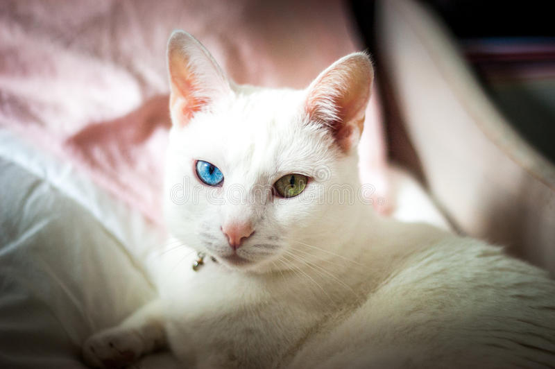 Vit katt som försöker att sova, olik kulör ögon, rosa färgöron och näsa arkivbilder