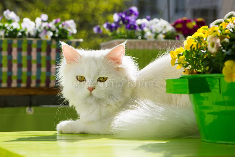 Vit katt som ligger på vårbalkong royaltyfri bild
