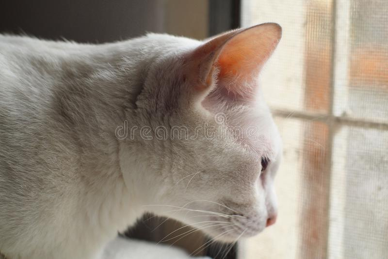 vit katt som ser till och med fönstret royaltyfri foto