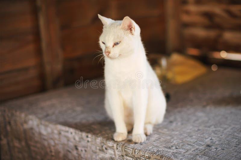 Vit katt som sitter på bordet i strandhut royaltyfria bilder