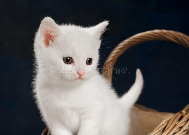 Vit kattunge med den vide- korgen fotografering för bildbyråer