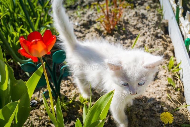 Vit kattunge med maskrosen royaltyfria bilder