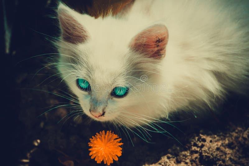 Vit kattunge med maskrosen fotografering för bildbyråer