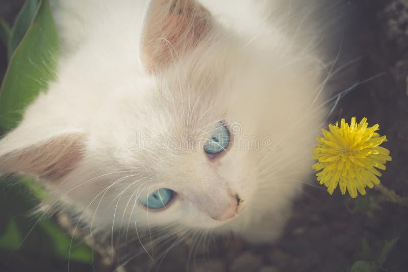 Vit kattunge med maskrosen arkivbilder