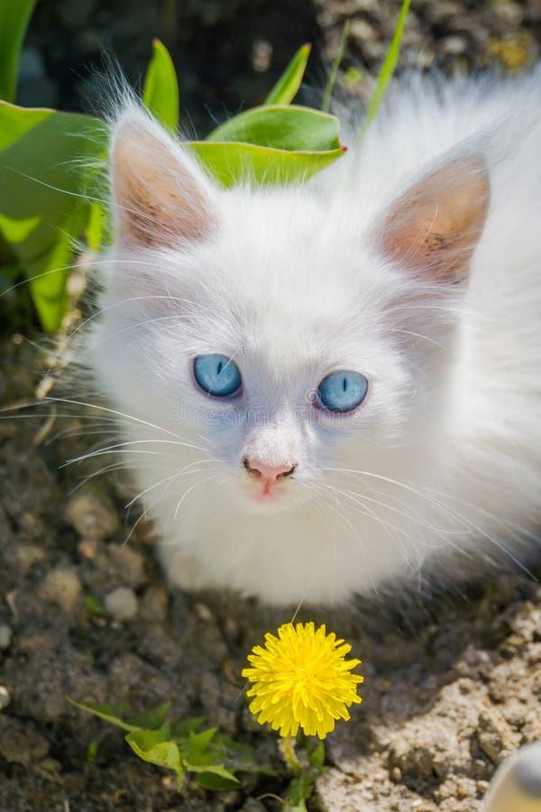 Vit kattunge med maskrosen royaltyfri fotografi