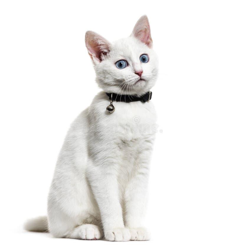 Vit kattungeblandad-avel katt som bär en klockakrage som isoleras på royaltyfri fotografi