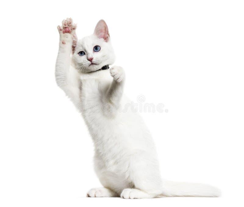 Vit kattungeblandad-avel katt som bär ett klockakrageanseende på H arkivbild