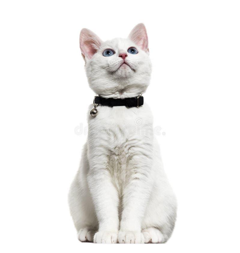 Vit kattungeblandad-avel som catwearing en klockakrage och ser upp royaltyfria bilder