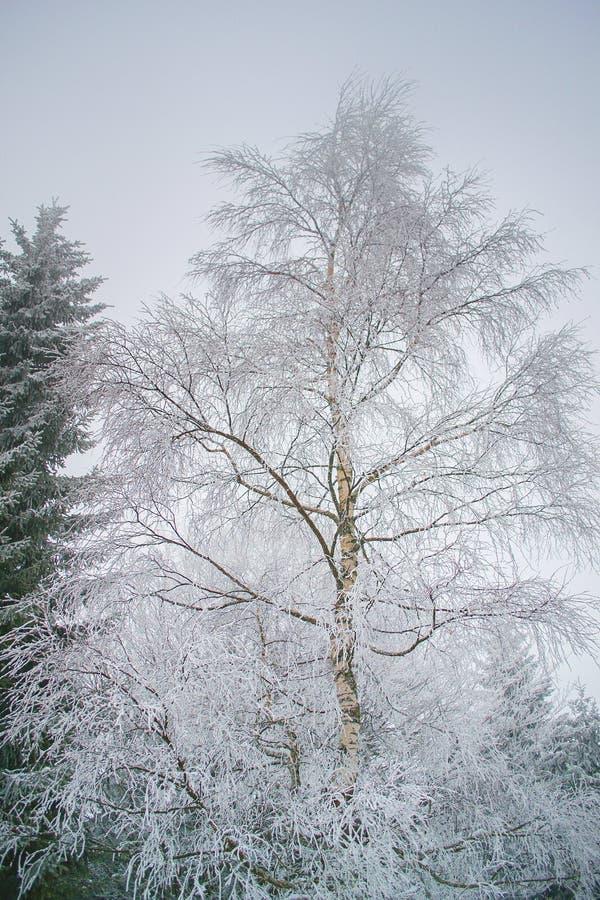 Vit-klädd björk i freezy vinter arkivfoton