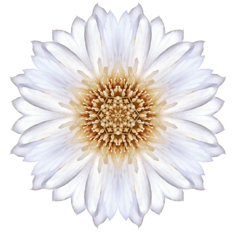 Vit koncentrisk blåklint Mandala Flower Isolated på slätten arkivbilder