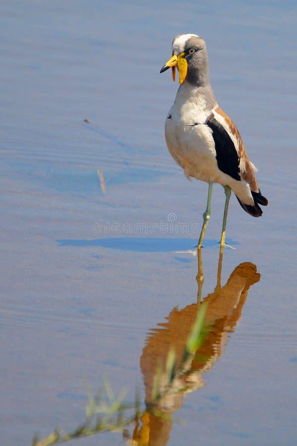 Vit-krönad brockfågel (Vanellusalbiceps) i den Kruger nationalparken fotografering för bildbyråer