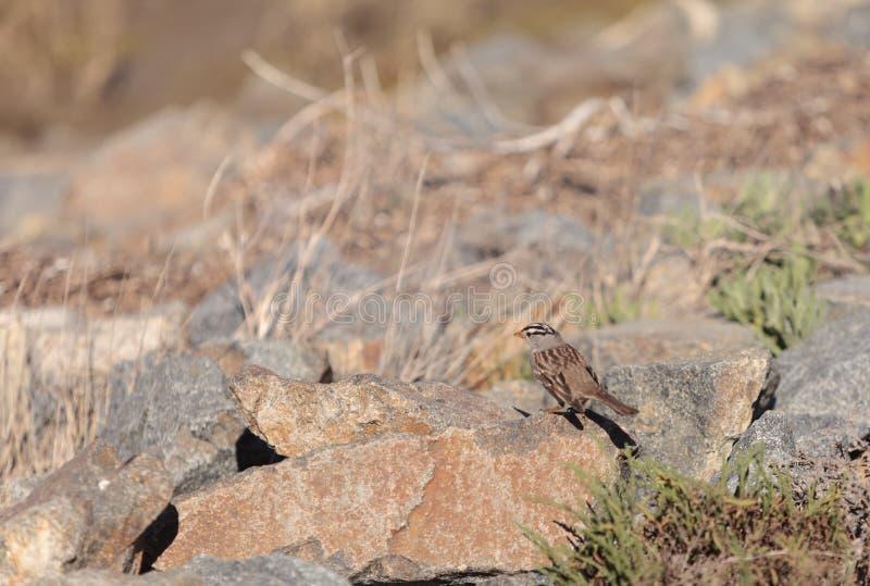 Vit krönad Sparrow arkivfoton