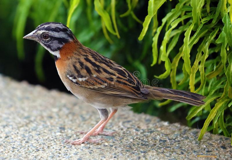 Vit krönade sparven, härlig fågel i den Costa Rica djungeln under sommar royaltyfri bild