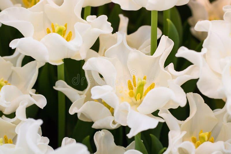 Vit krona-formade vitt blomma för den Libertar tulpan Selektivt fokusera closeup royaltyfri fotografi