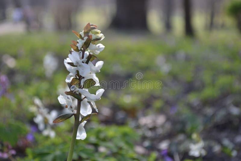 Vit lös orkidé i skogen fotografering för bildbyråer