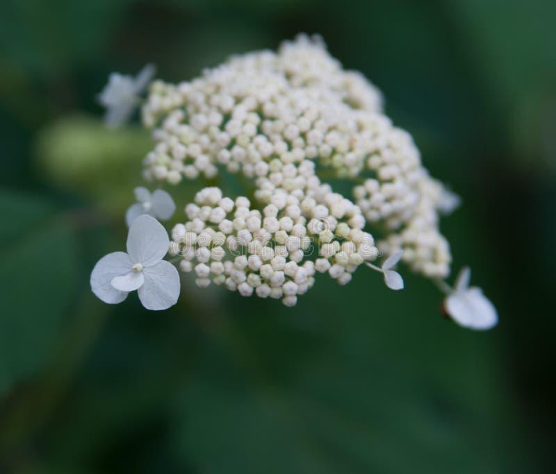 Vit lös vanlig hortensia royaltyfria foton