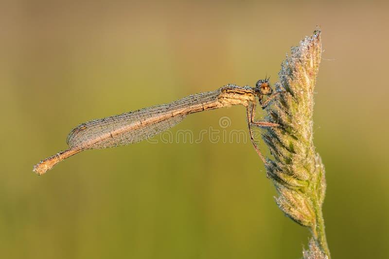 Vit-lade benen på ryggen damselflyPlatycnemis pennipes arkivfoto