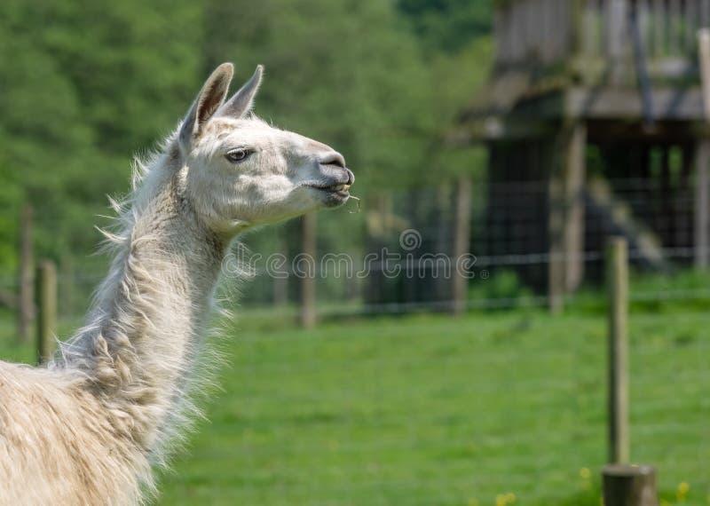 Vit lama på lantgården royaltyfria foton