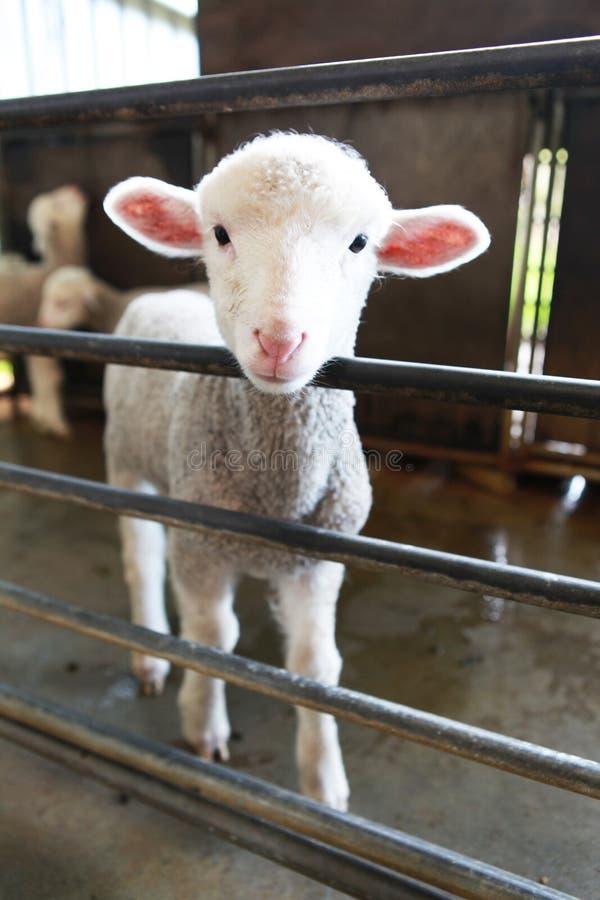 Vit lamb arkivbild