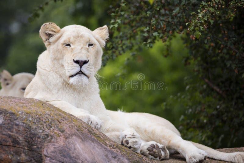 Vit lejoninna arkivbilder