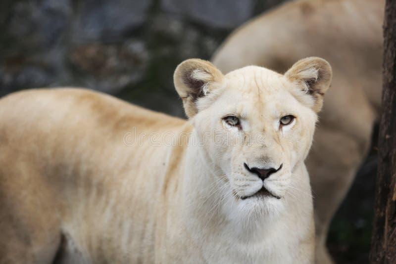 Vit lejoninna med blåa ögon i zoo royaltyfria bilder