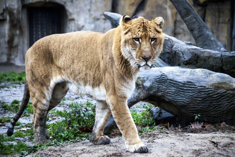 Vit liger för en gå i zooaviariet Ligr En bland av ett lejon och en tiger En stor manlig ligra arkivfoto