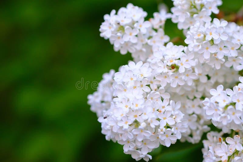 Vit lila buske som är söt royaltyfria bilder