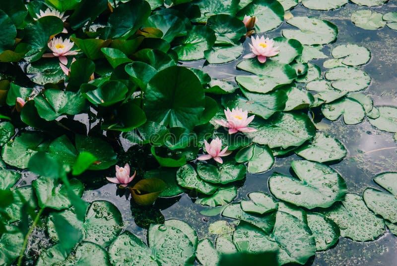 Vit lilja eller Lotus i dammet i sommaren arkivfoto