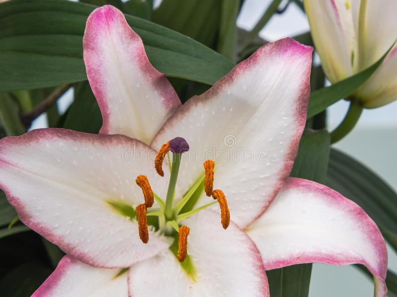 Vit lilja med lilakanter och stigma royaltyfri bild