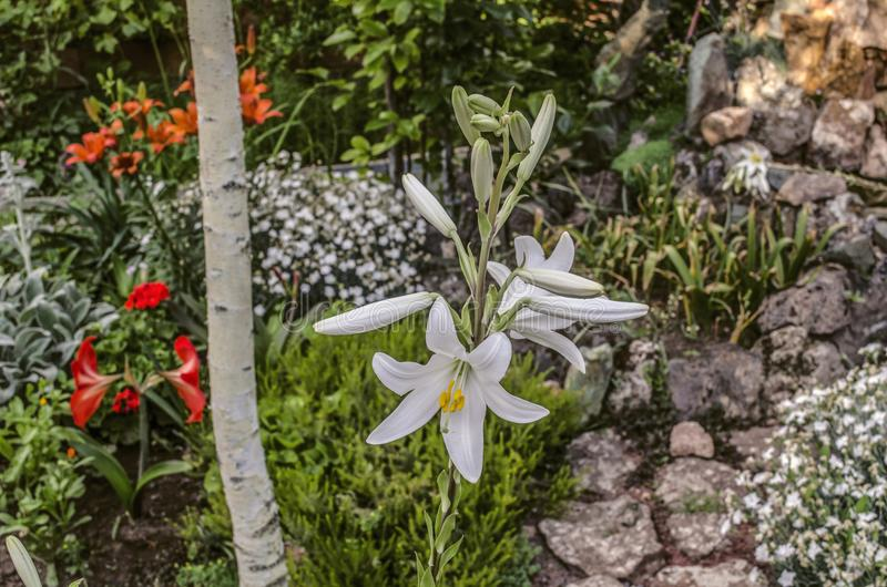 Vit lilja under trädet, bland andra blommor i borggården royaltyfri foto