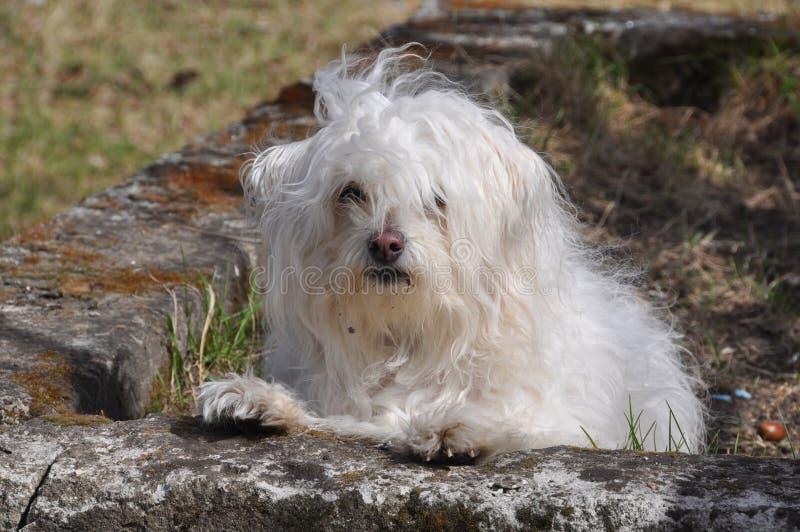 Vit liten hund royaltyfri fotografi