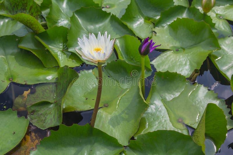 Vit lotusblomma är blommande med mjukt solljus royaltyfri foto