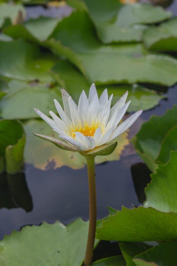Vit lotusblomma är blommande med mjukt solljus royaltyfri bild