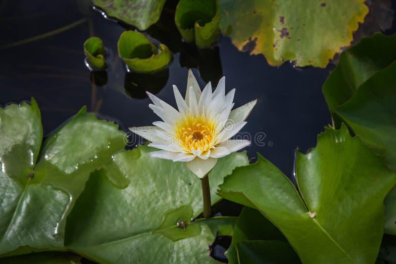 Vit lotusblomma är blommande med mjukt solljus royaltyfri fotografi