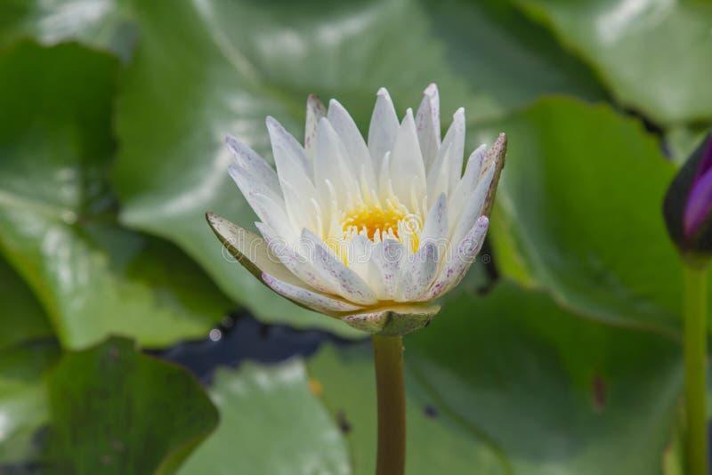Vit lotusblomma är blommande med mjukt solljus royaltyfria foton
