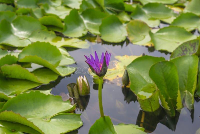Vit lotusblomma är blommande med mjukt solljus arkivfoto