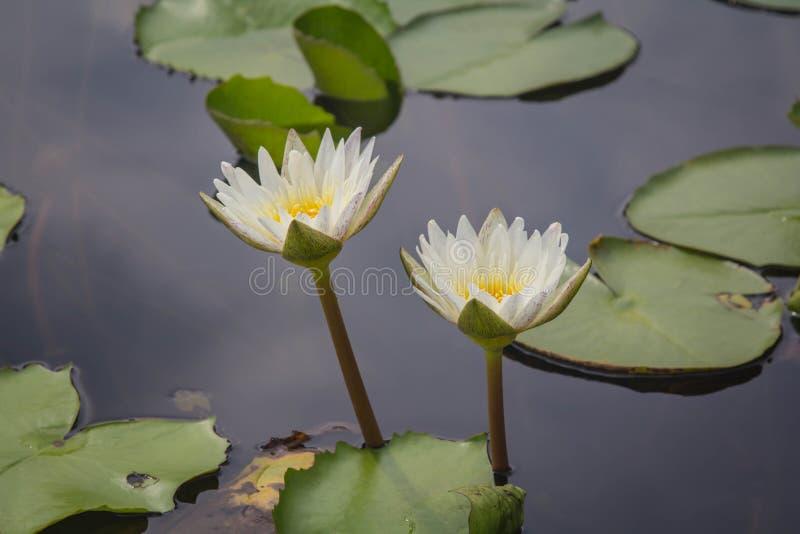Vit lotusblomma är blommande med mjukt solljus fotografering för bildbyråer