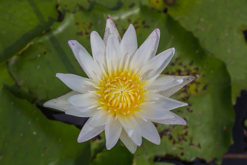 Vit lotusblomma är blommande med mjukt solljus arkivbild