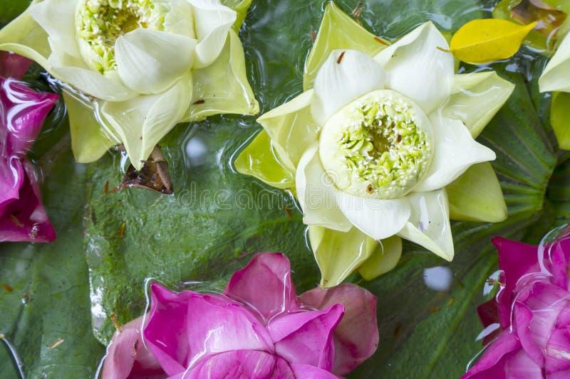 Vit lotusblomma 1 royaltyfri bild