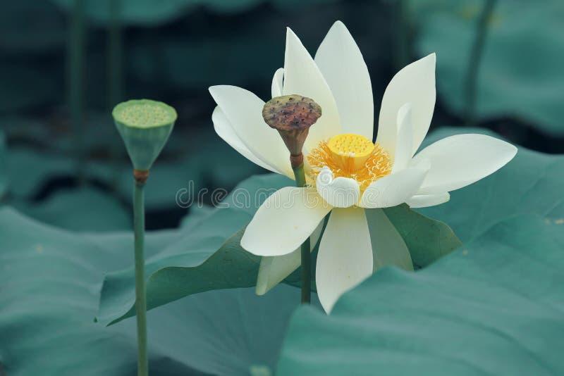 Vit lotusblomma och kärnar ur royaltyfria bilder
