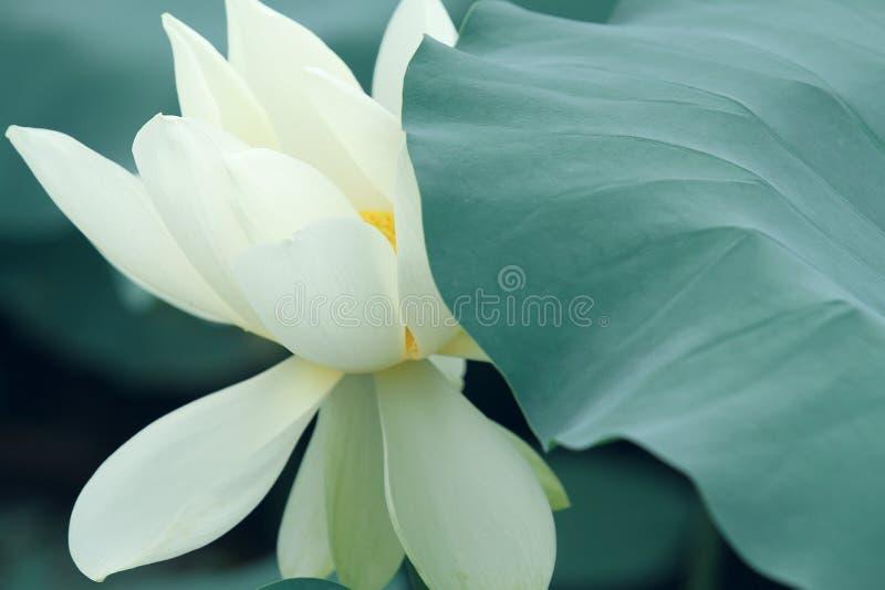 Vit lotusblomma och leaf royaltyfri bild
