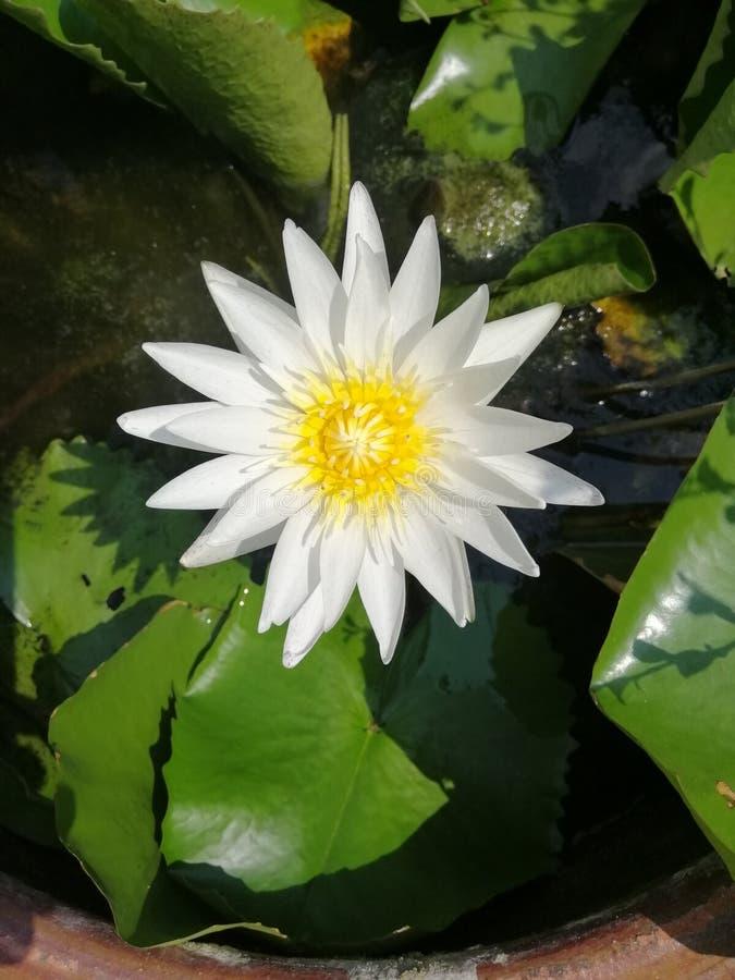 Vit lotusblomma och många grönt blad i en bunke royaltyfri fotografi