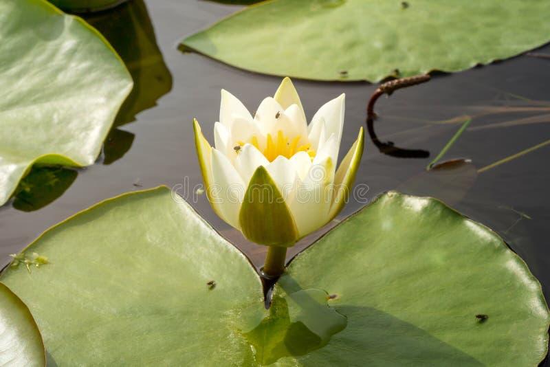 Vit lotusblomma p? yttersida av dammet royaltyfri foto